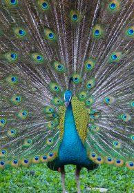 Arhatic Yoga - Peacock